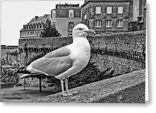 Full-length Portrait Greeting Cards - Gull at Saint-Malo Greeting Card by Nikolyn McDonald
