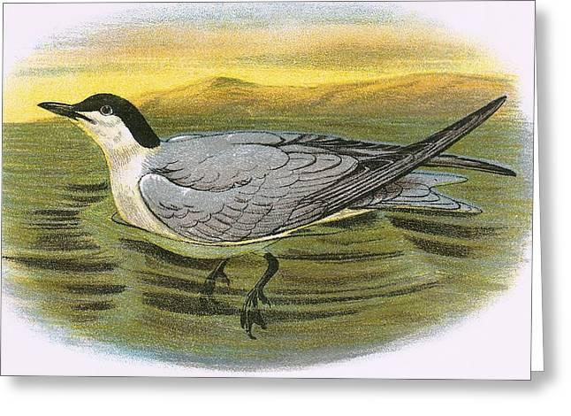 Tern Greeting Cards - Gull Billed Tern Greeting Card by English School