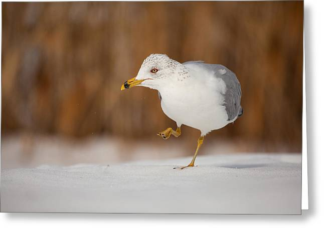 Ring-billed Gull Greeting Cards - Gull Dance Greeting Card by Karol  Livote
