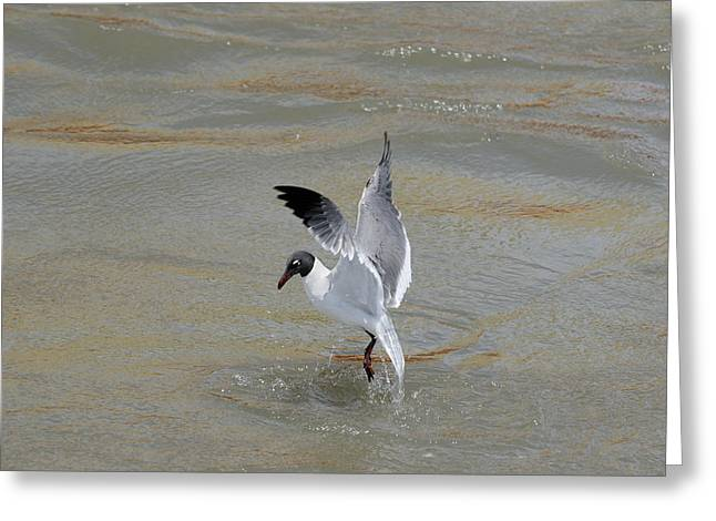 Oil Slick Greeting Cards - Gull escaping the oil spill Greeting Card by Bradford Martin