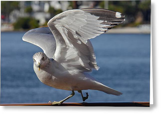 Seabirds Greeting Cards - Gull Flexing His Wings Greeting Card by Denise Mazzocco