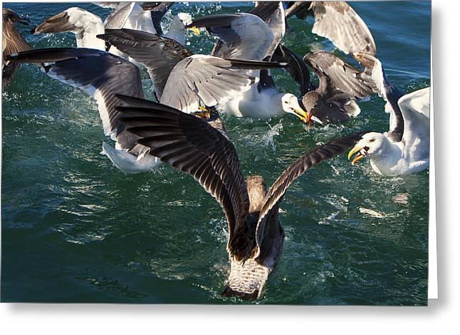 Ocean Greeting Cards - Gull Frenzy Greeting Card by David Millenheft