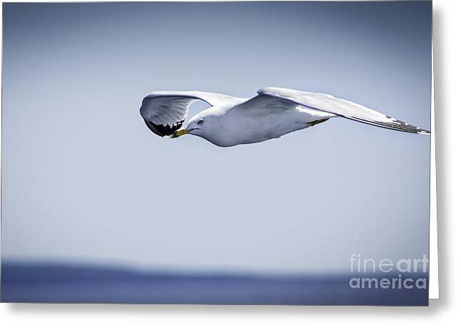 Manitoulin Greeting Cards - Gull In Flight 1 Greeting Card by Timothy Hacker