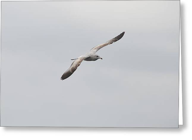 Jacksonville Greeting Cards - Gull in Flight Greeting Card by Richard Bryce and Family