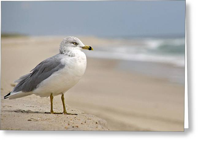 Sand Dune Greeting Cards - Gull on the Sand Greeting Card by Alida Thorpe