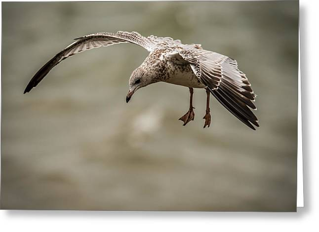 Peaceful Scene Greeting Cards - Gull Greeting Card by Paul Freidlund
