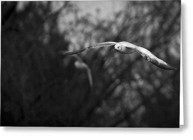 Inspirational Wildlife Prints Greeting Cards - Gull Soaring  Greeting Card by Garett Gabriel
