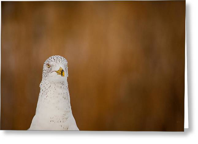 Ring-billed Gull Greeting Cards - Gull Stare Greeting Card by Karol  Livote
