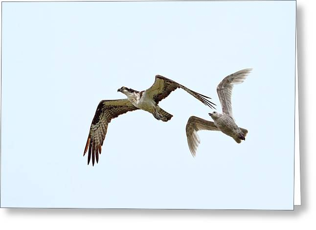 Harassment Greeting Cards - Gull Versus Osprey Greeting Card by Peggy Collins