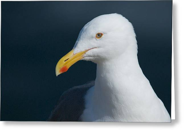 Photographs With Red. Greeting Cards - Gull Watcher Greeting Card by Bob Smithing