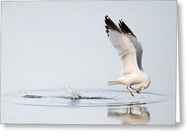 Larus Delawarensis Greeting Cards - Gull With Bread Greeting Card by Angela Patterson