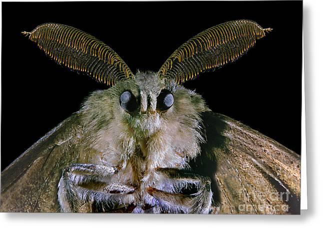 Gypsy Greeting Cards - Gypsy Moth Greeting Card by Darwin Dale