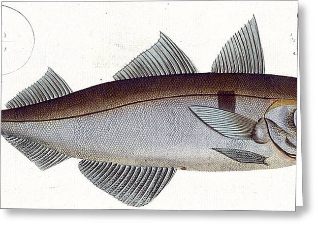Angling Drawings Greeting Cards - Haddock Greeting Card by Andreas Ludwig Kruger