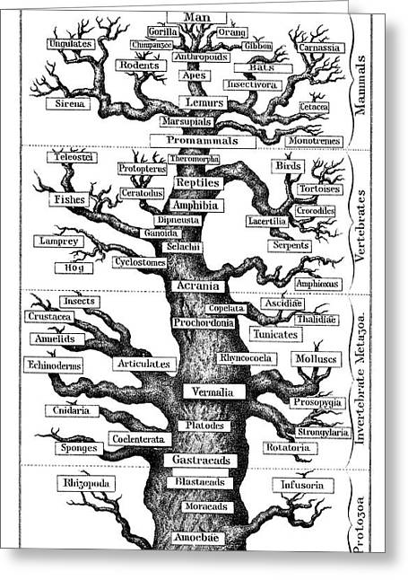Haeckel's Scheme Of Evolution Greeting Card by Universal History Archive/uig