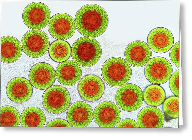 Haematococcus Algae Greeting Card by Marek Mis