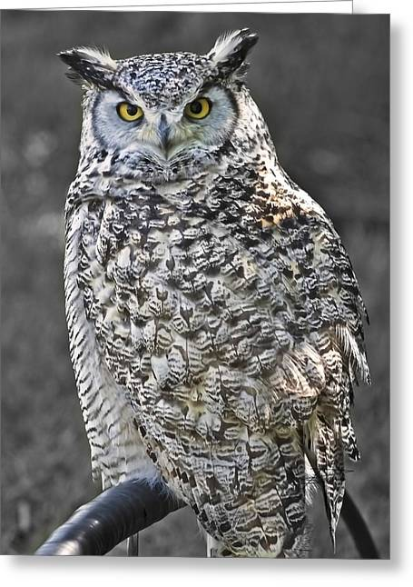 Great-horned Owls Greeting Cards - Hagrid  Greeting Card by Barbara  White