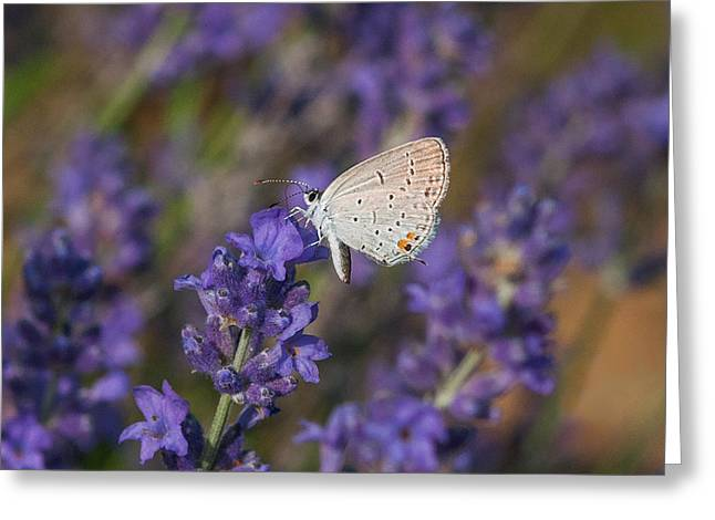 Butterfly On Lavender Greeting Cards - Hair Streak On Lavender Greeting Card by Lara Ellis
