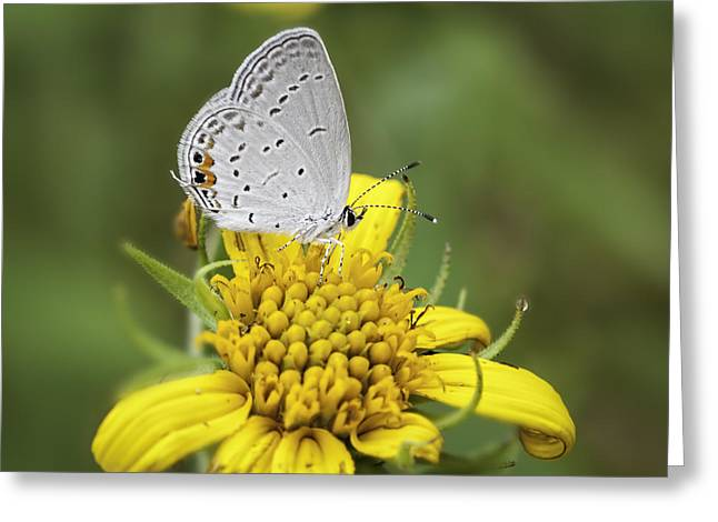 Acadian Greeting Cards - Hairstreak On Yellow Greeting Card by Thomas Young