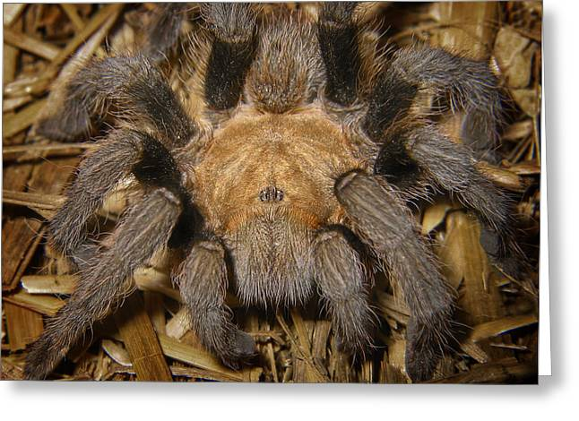 Arachnids Greeting Cards - Hairy Greeting Card by David and Carol Kelly