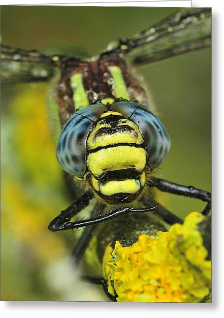Thomas Marent Greeting Cards - Hairy Dragonfly Switzerland Greeting Card by Thomas Marent