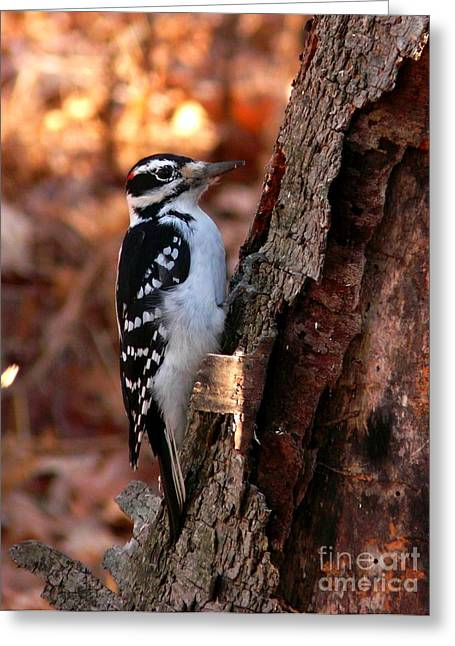 Maine Farms Greeting Cards - Hairy Woodpecker at Gilsland Farm Greeting Card by Christine Stack