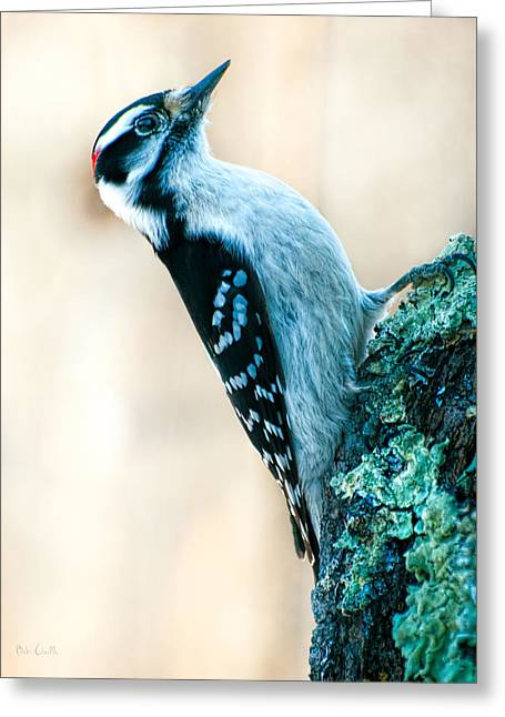 Bob Orsillo Greeting Cards - Hairy Woodpecker Greeting Card by Bob Orsillo