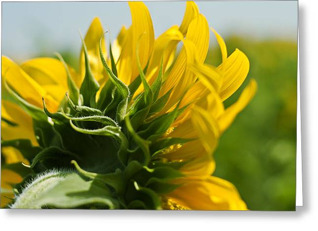 French Open Greeting Cards - Half Sunflower Greeting Card by Nomad Art And  Design