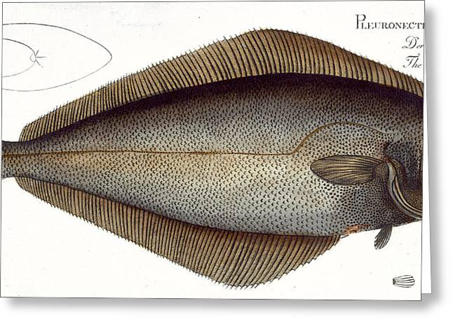 Angling Drawings Greeting Cards - Halibut Greeting Card by Andreas Ludwig Kruger