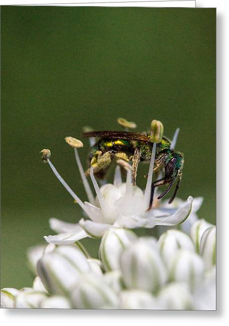 Irridescent Greeting Cards - Halicid Bee Amongst the Anthers Greeting Card by Douglas Barnett