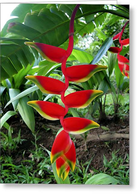 Paradise Greeting Cards - Haliconia Greeting Card by Kurt Van Wagner