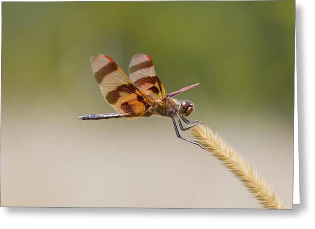 Crisp Greeting Cards - Halloween Pennant Dragonfly Greeting Card by Bill Tiepelman
