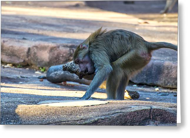 Animal Pics Greeting Cards - Hamadryas Baboon Exercising Greeting Card by Chris Flees