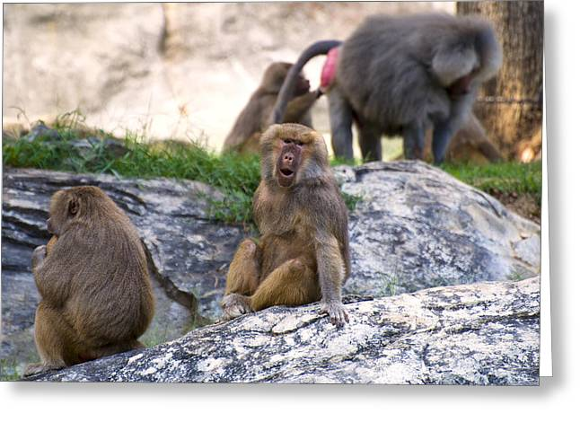 Animal Pics Greeting Cards - Hamadryas baboon face Greeting Card by Chris Flees