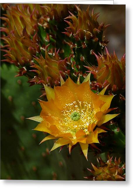 Cactus Southwest Cactus Flower Orange Wildflowers Nature Arizona Greeting Cards - Hamanns Prickly Pear Cactus II Greeting Card by Cindy McDaniel