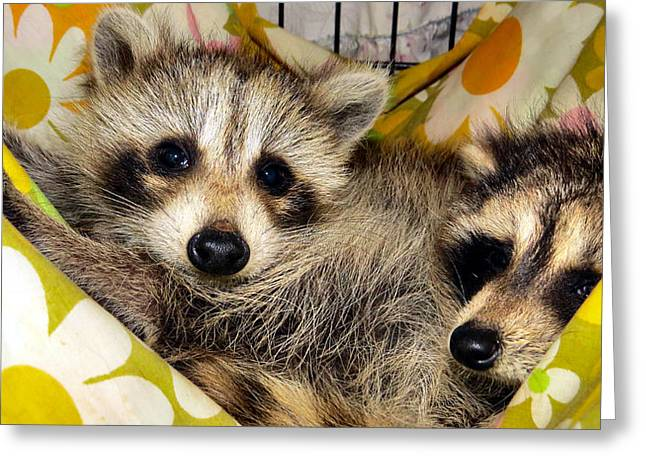 Albino Raccoon Greeting Cards - Hammock Loungers Greeting Card by Michelle Milano