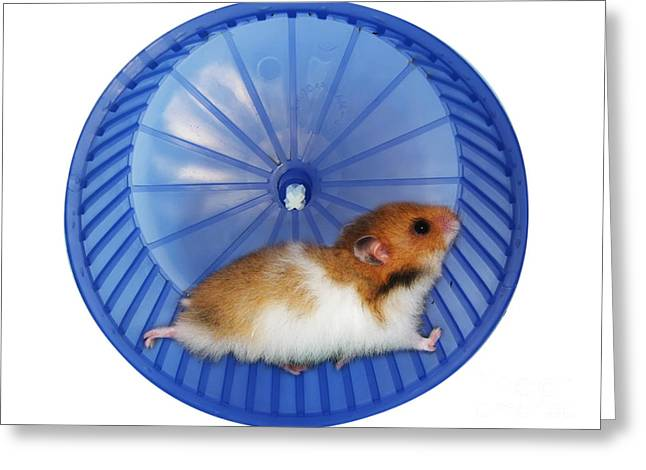 Gerbil Greeting Cards - Hamster in a wheel Greeting Card by Ingrid Prats