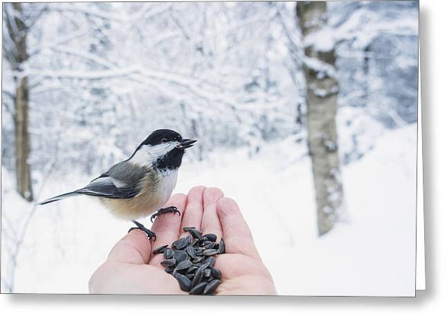 Differential Focus Greeting Cards - Hand Feeding A Black-capped Chickadee Greeting Card by Julie DeRoche