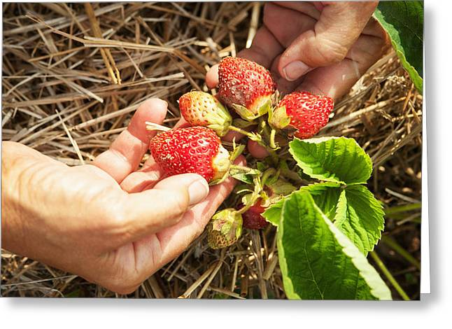 Images Of Woman Greeting Cards - Hands Holding Strawberries Over Straw Greeting Card by Remsberg Inc