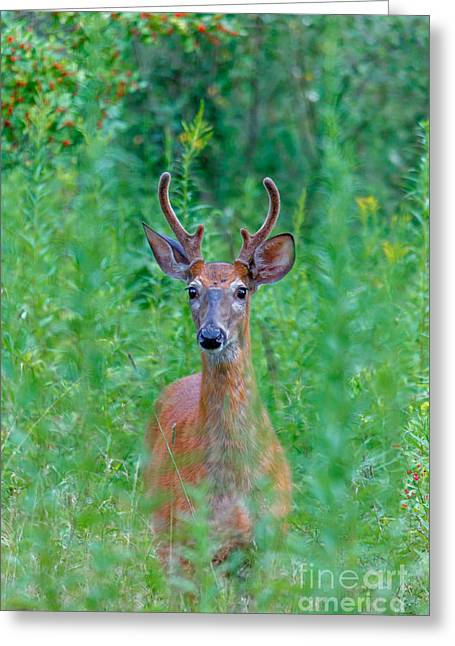 Red Green Black Pyrography Greeting Cards - Handsome Buck Greeting Card by Rebecca Brooks