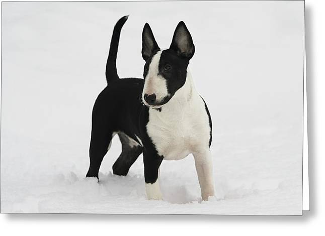 Handsome Bull Terrier Puppy Greeting Card by Lisa Hufnagel