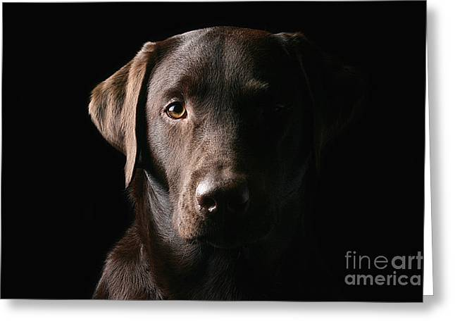 Handsome Chocolate Labrador Greeting Card by Justin Paget