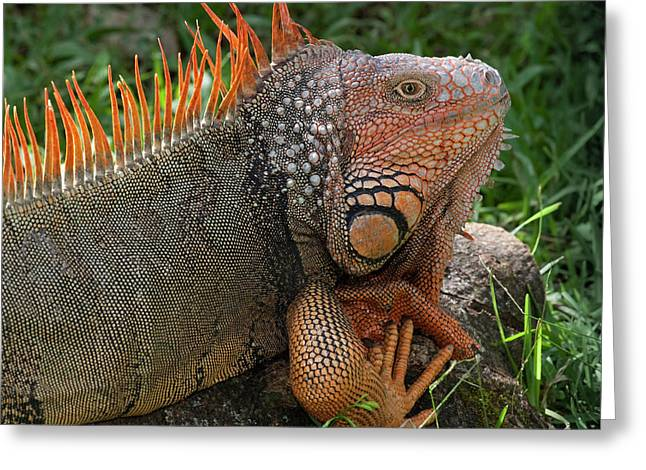 Handsome Male Green Iguana, Iguana Greeting Card by Thomas Wiewandt