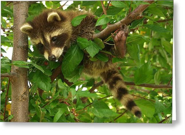 Unusual Raccoon Greeting Cards - Hang in There Greeting Card by James Peterson