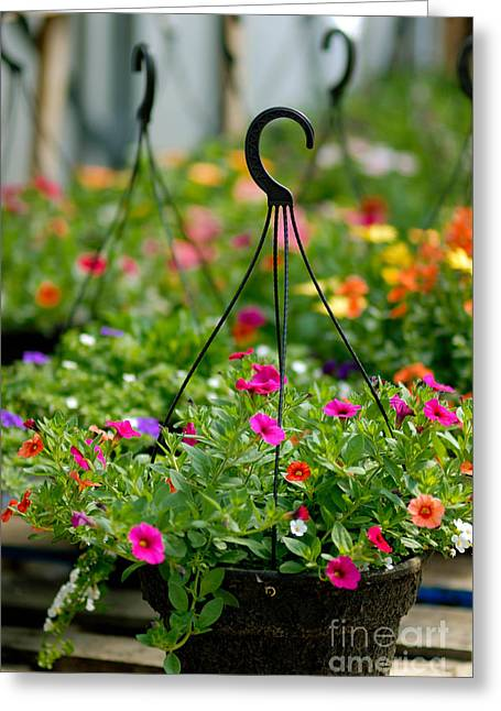 Rows Greeting Cards - Hanging Flower Baskets Shallow DOF Greeting Card by Amy Cicconi