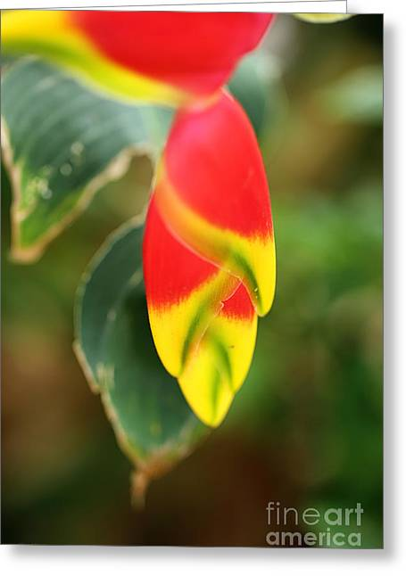 Heliconia Greeting Cards - Hanging Heliconia 2 Greeting Card by Cheryl Young