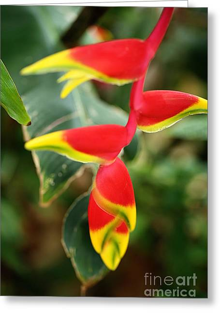 Hanging Heliconia Greeting Card by Cheryl Young