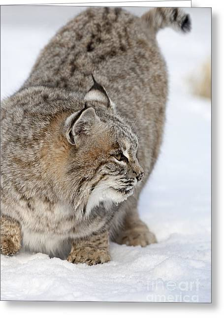 Lynx Rufus Greeting Cards - Hanging it Out Greeting Card by Wildlife Fine Art