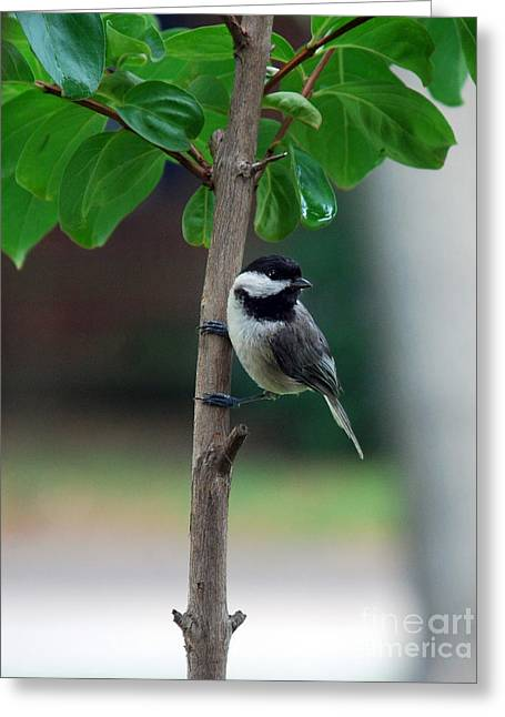Kinds Of Birds Greeting Cards - Hanging Out Greeting Card by Skip Willits