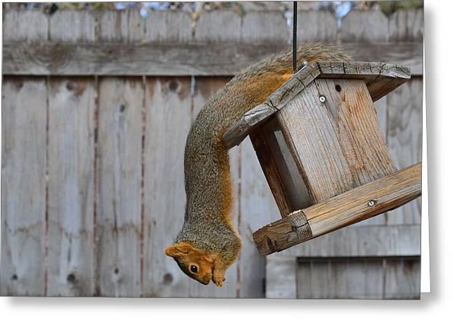 Fox Squirrel Greeting Cards - Hanging Squirrel Greeting Card by Rae Ann  M Garrett