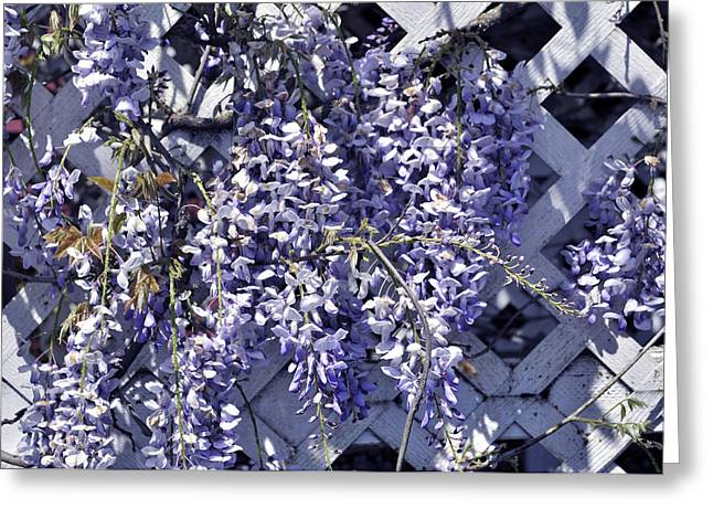 Hanging Wisteria On Lattice Greeting Card by Tikvah's Hope